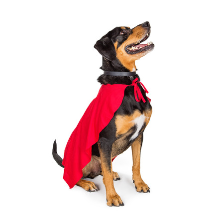 Happy large dog wearing red superhero cape while sitting to side on white and looking up Stock Photo