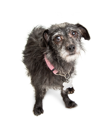 black dog: Small terrier dog with shaggy black color hair wearing pink collar with blank tag