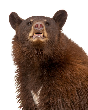 Closeup portrait of a large brown color black bear isolated on white