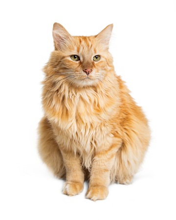 Pretty longhair orange color tabby cat with green eyes sitting on white background