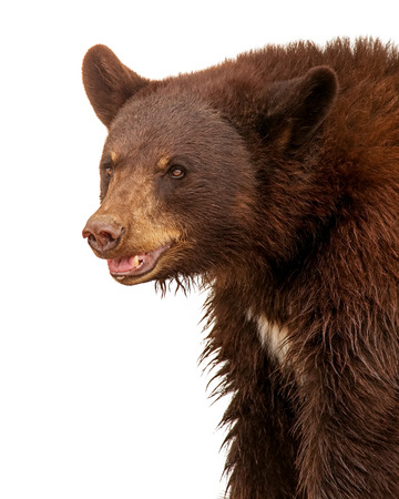 oso negro: Closeup side view of a large brown color black bear isolated on white