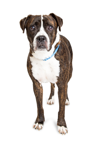 looking into camera: Pit Bull and Boxer mixed breed dog standing over white looking into camera