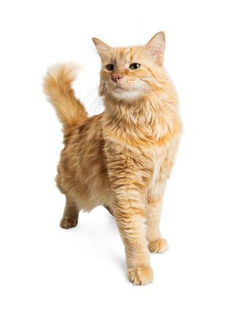 longhair: Pretty adult orange longhair tabby cat walking forward on a white studio background Stock Photo