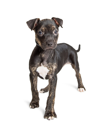 brindle: Adorable young Black and brown brindle ten week old puppy Stock Photo