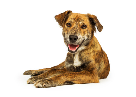 Smiling happy and friendly Plott Hound crossbreed dog lying on white studio background and looking into camera