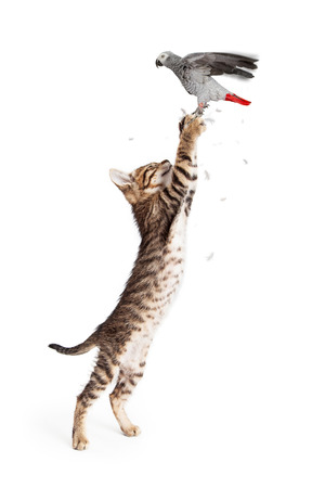 cat stretching: Young cat reaching up to catch a pet parrot bird in flight