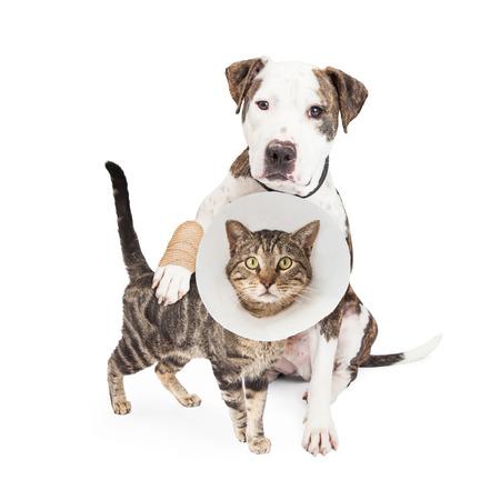 Dog with injured paw around a cat wearing Elizabethian collar Foto de archivo
