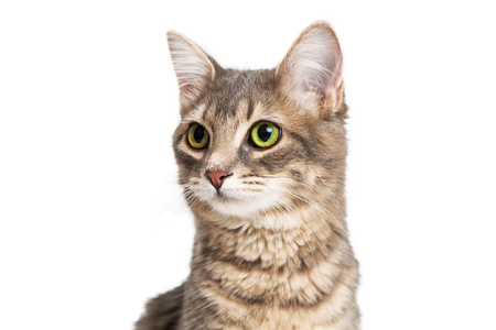 outs: Closeup portrait of cute young brown and gray color tabby kitty over white