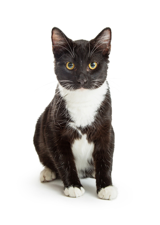 Pretty black and white tuxedo cat sitting over white looking forward