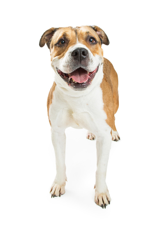 large dog: Large Pit Bull mixed breed dog with happy expression and open mouth. Isolated on white Stock Photo