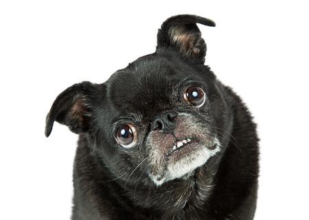 black pug: Portrait funny attentive black pug purebred dog looking into camera and tilting head Stock Photo