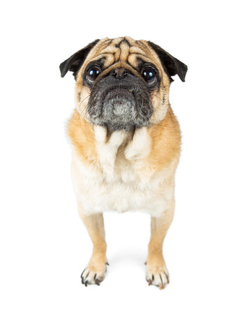 purebreed: Pug dog purebred standing on white facing and looking forward