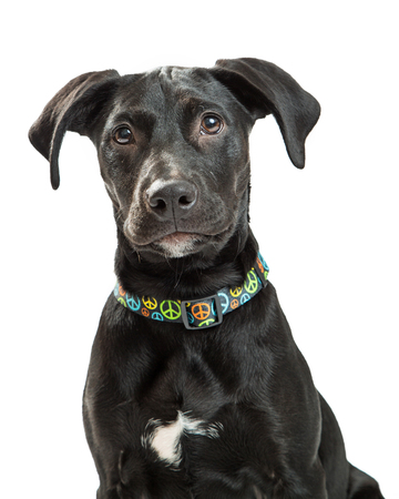 black dog: Closeup of cute young Labrador retriever dog with black coat wearing colorful peace sign collar