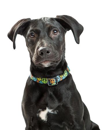 Primer plano de perro joven lindo del labrador retriever con pelaje negro con collar colorido del signo de la paz