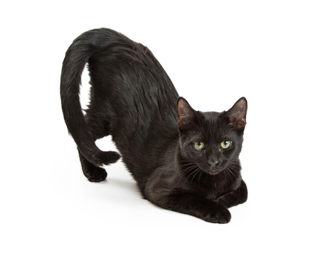 cat stretching: Funny black cat stretching with back end up in the air. Isolated on white.