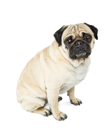 looking into camera: Dog - Pug breed sitting on white to side, looking into camera