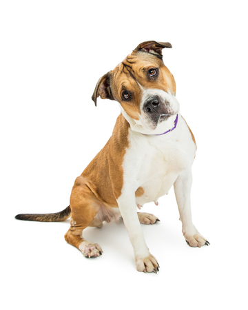 Beautiful large Pit Bull crossbreed dog sitting on white background while tilting head and looking into camera Stock Photo