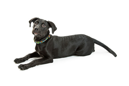 Cute young black Labrador Retriever puppy lying down on a white studio background looking up.
