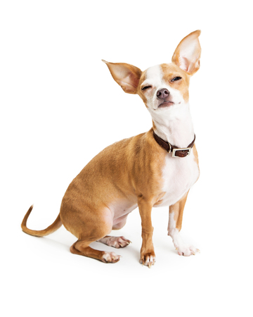 Funny photo of Chihuahua dog squinting eyes while sitting on white Reklamní fotografie