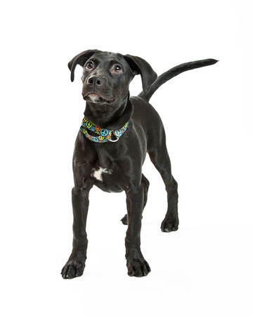 Cute young black Labrador Retriever dog standing over white studio background looking up Stock Photo