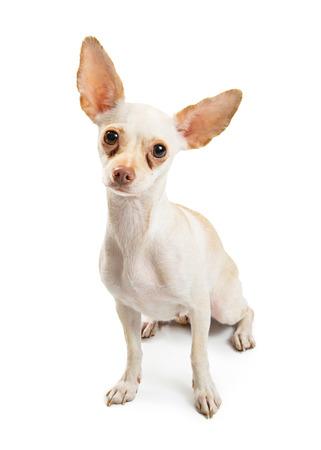 La couleur blanche Chihuahua chien avec taches de larmes rouges sous les yeux assis et regardant vers l'avant.