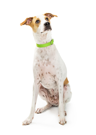sit on studio: Cute mixed breed medium size dog sitting on white while looking up