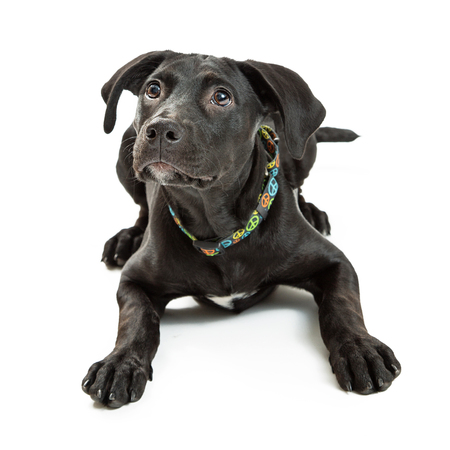 obedient: Obedient young black Labrador Retriever dog lying down on white background while looking up.