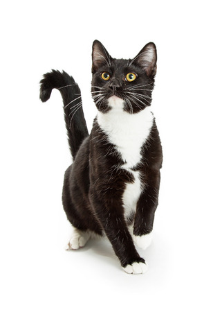 pet cat: Cute curious black and white tuxedo cat sitting on white looking up and raising a paw