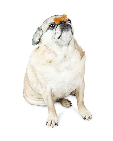 pug nose: Pug dog doing trick of balancing a biscuit treat on top of his nose Stock Photo