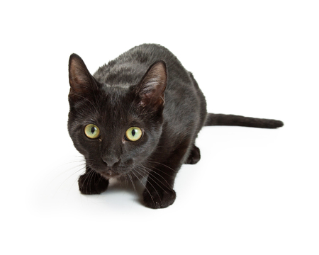 Timid and scared young black cat crouching and looking forward. Stock Photo