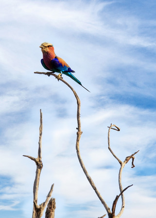 destination scenics: Lilac-Breasted Roller bird perched on a tree branch in South Africa Stock Photo