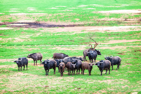 buffalo grass: Large herd of Cape Buffalo in a green grass field in South Africa Stock Photo