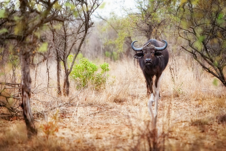 destination scenics: Large African Buffalo with bird on head, walking through Kruger National Park, South Africa. Stock Photo