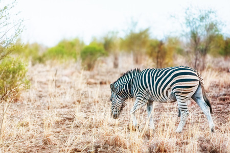 One zebra grazing in the savannah of Kruger National Park, South Africa