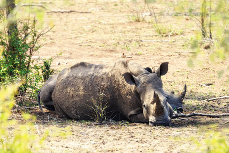 kruger national park: Large Rhinocerous lying down with her baby behind her in Kruger National Park, South Africa