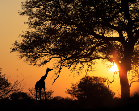 africa tree: Colorful sunset silhouette of giraffe eating from tree in South Africa Stock Photo