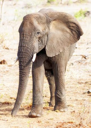 destination scenics: Large African Elephant walking through Kruger National Park, South Africa
