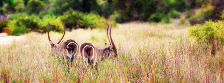 destination scenics: Two waterbucks in the grasslands of Kruger National Park, South Africa.