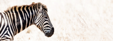 equid: Plains Zebra side view closeup - Horizontal banner with copy space