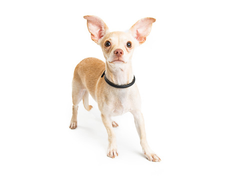 outs: Cute young Chihuahua dog with big ears standing over white Stock Photo