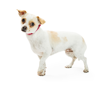 Adorable little shy crossbreed dog walking over white background