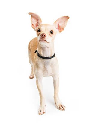 outs: Cute Chihuahua tan color dog standing over white