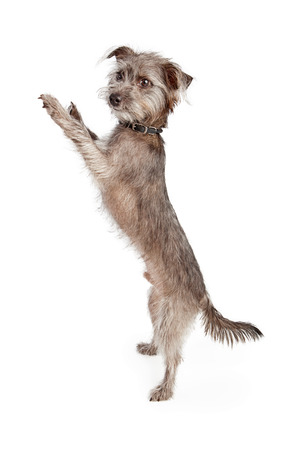 Young scruffy terrier dog standing up to side on hind legs with arms up.