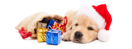 Cute Golden Retriever puppy wearing Santa Claus hat with bag of Christmas gifts. Horizontal banner. Stock Photo