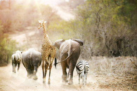 Group of unlikely South African safari animal friends walking away down a path together in Kruger National Park at sunrise. Stockfoto
