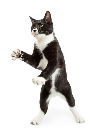 Yound black and white tuxedo cat standing on hind legs with paws up
