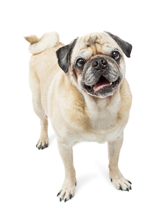 tails: Cute purebred Pug breed dog with happy expression and curly tail standing on white background and looking into camera
