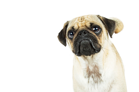 Pug dog with sad pouty expression looking up. White background with copy space.