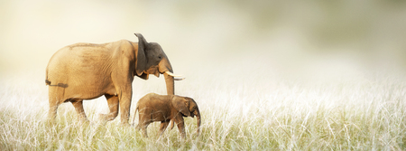 Mother and baby African elephant walking together through tall grass in a dreamy scene. Horizontal banner with copy space