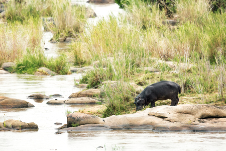 kruger national park: Hippopotamus drinking water out of stream in Kruger National Park, South Africa Stock Photo
